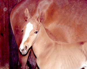 Traverse Red, 2006 Trakehner Colt